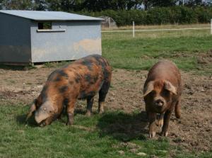 OSB pigs